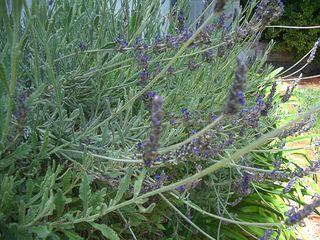 Pic_3_lavender