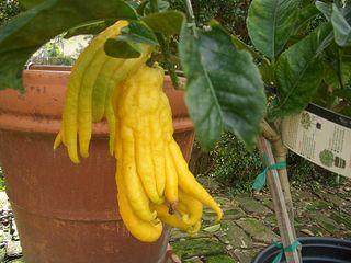 Buddah's hand lemons